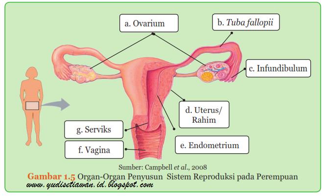 Struktur Dan Fungsi Organ Organ Penyusun Sistem Reproduksi Pada Laki Laki