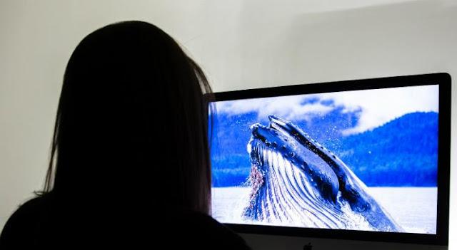 Curiosidades sobre a baleia-azul:  Todo mamífero mama, certo ? Sim e não! - Apesar de serem mamíferos, as mamães baleias não amamentam seus filhotes, não nas tetas. Como seu leite é muito gorduroso, que ela o solta na água e, já que água e gordura não se misturam, é lá que o filhote o suga.