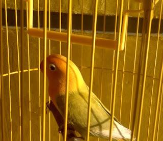 Cara Membuat Ayunan di Kandang Burung Love Bird