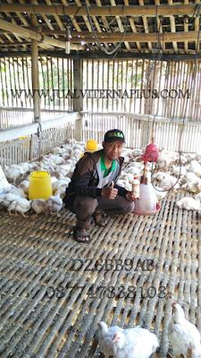 ayam broiler, mempercepat panen ayam broiler