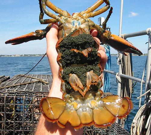 Lobsters Facts In Hindi-Jhinga Machhli