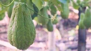 Benefits of chayote for human health - startgohealthy.com