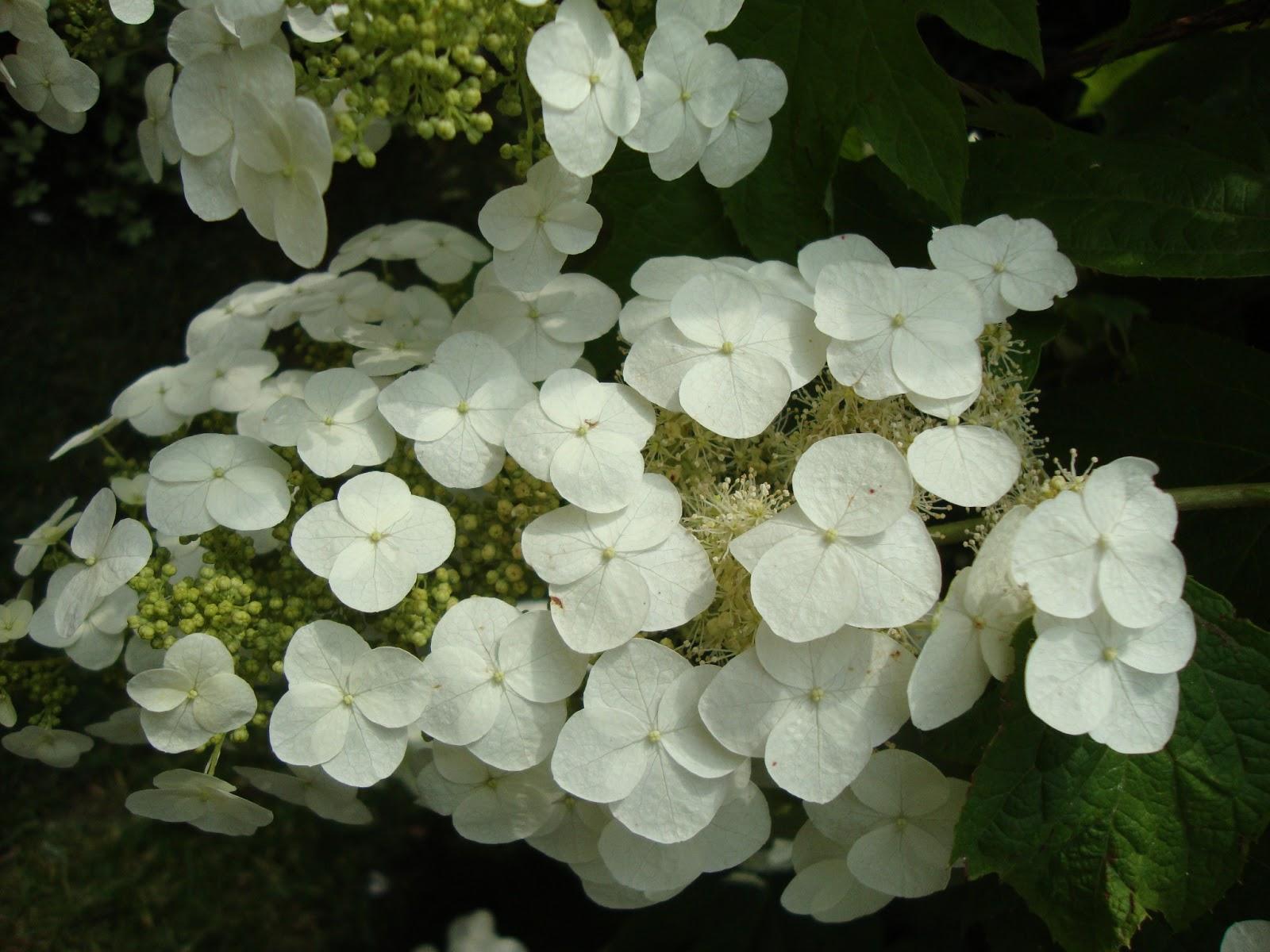 Un piccolo giardino in citt fioriture generose e for Ortensia quercifolia