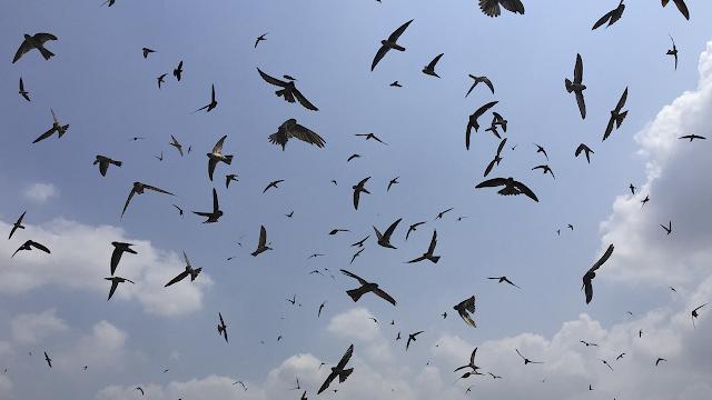 Download Suara Burung Walet Original Dan Jernih