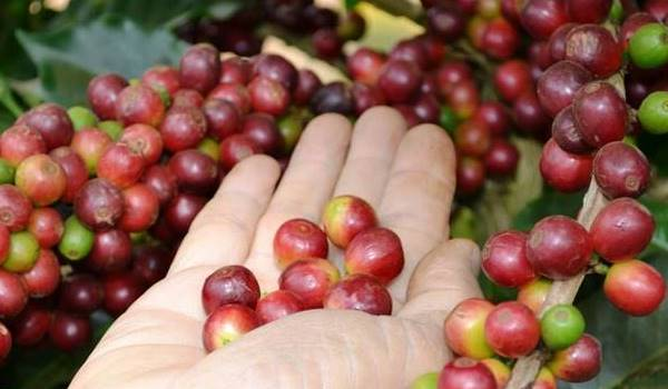 Giá cà phê hôm nay 16/8: Điều chỉnh tăng 100 đồng/kg