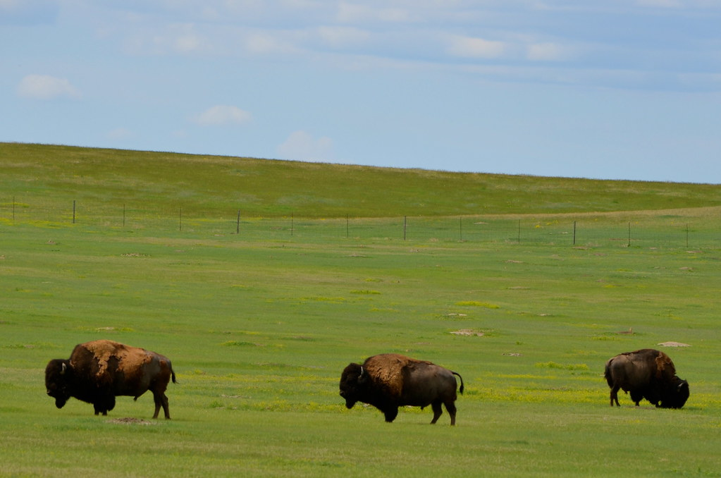 Бизоны и другие млекопитающие парка Бэдлендс