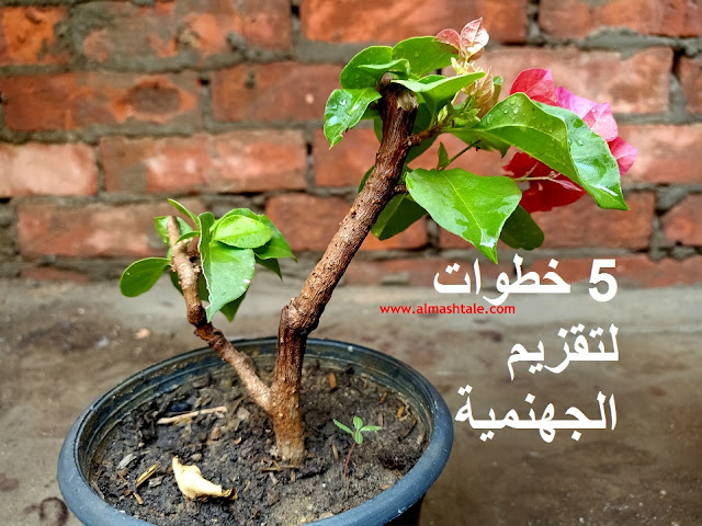 تقزيم شجرة الجهنمية dwarf bougainvillea