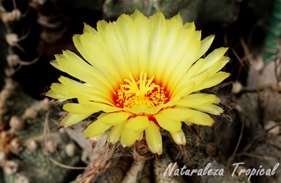 Flor de una especie de cactus globoso