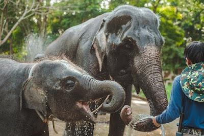 Fakta Tentang Gajah Afrika