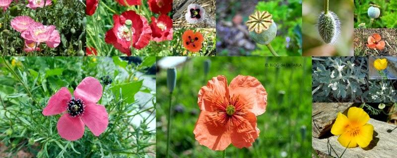 Fotos de amapolas de diferentes colores