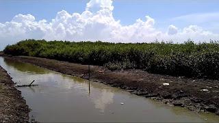 Tempat Wisata Hutan Mangrove Pantai Sambilawang