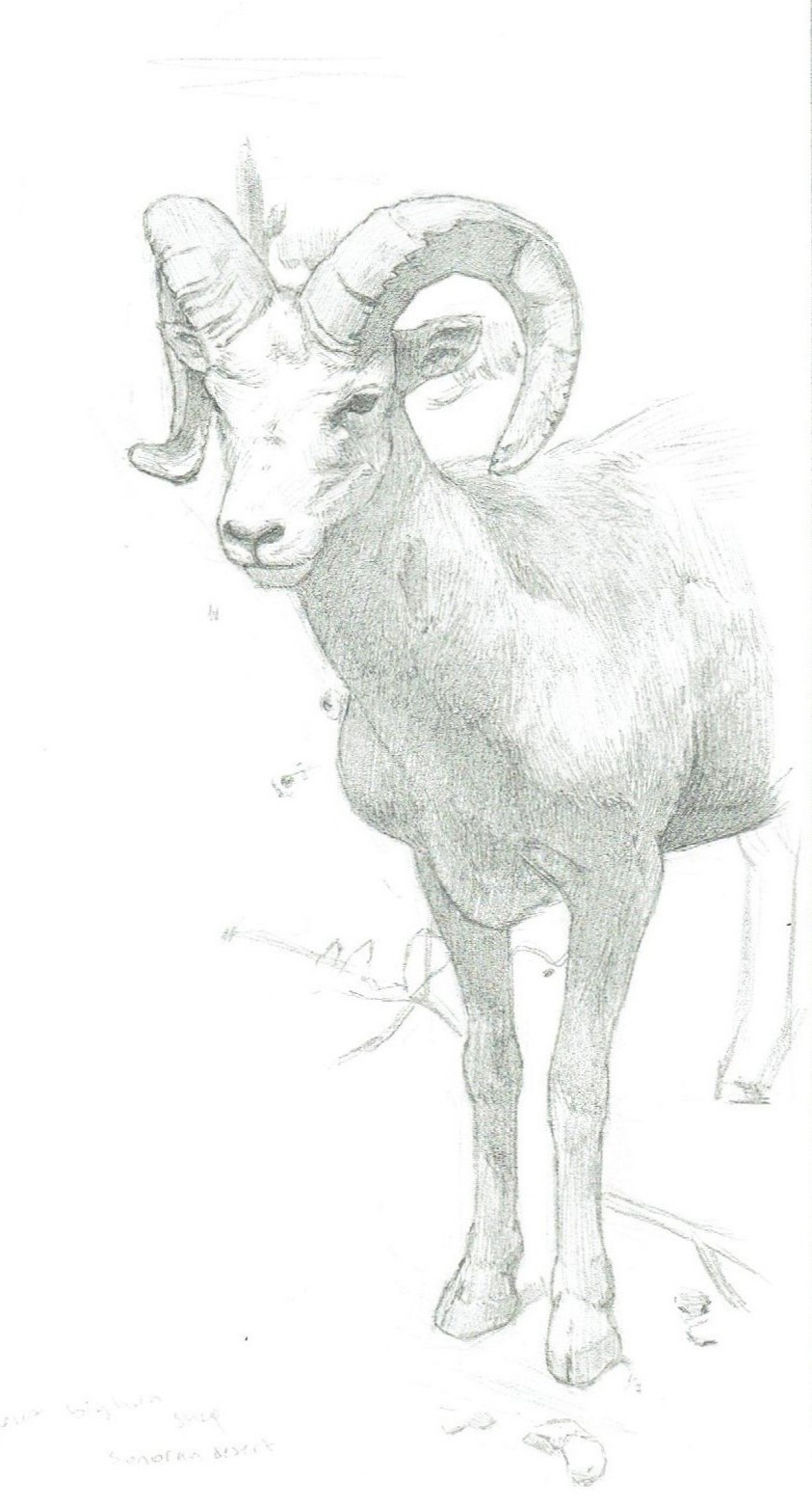 4b44a21c0f55db6eeb465e3b02a2b45ejpg. how to draw a bighorn sheep how ...