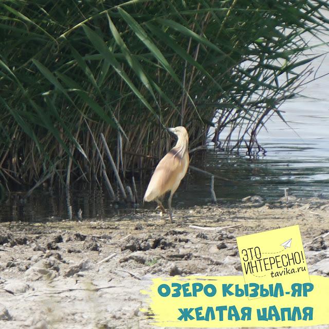 желтая цапля на озере в Крыму