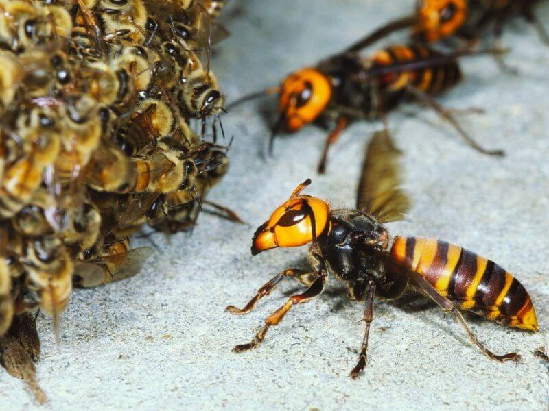 Beza Lebah dan Tebuan