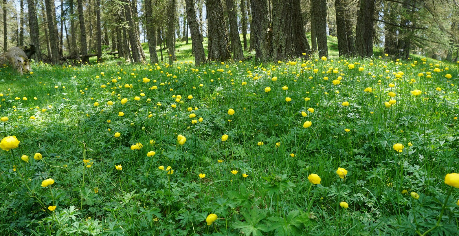 Globeflowers in blossom near Valberg