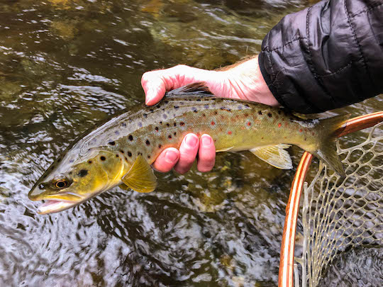 Smoky Mountain brown trout