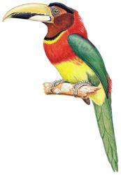 Eastern red necked Aracari
