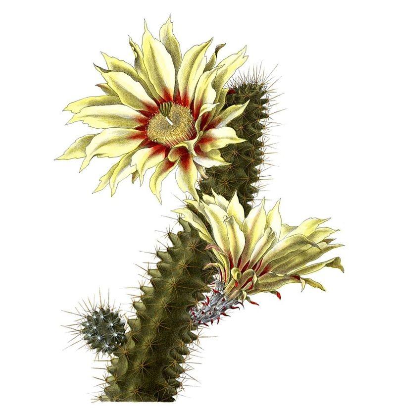 Echinocereus_papillosus_pm