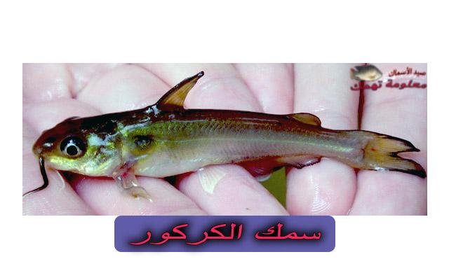 سمك الكركور