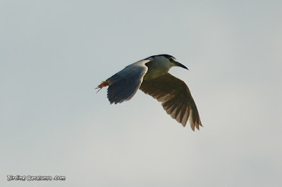 Martinet de nit adult (Nycticorax nycticorax)