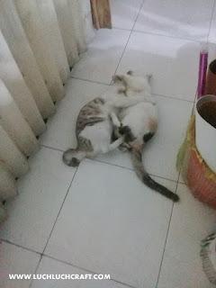 kucing domestik bersih