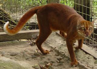 Kucing Kampung Warna Merah