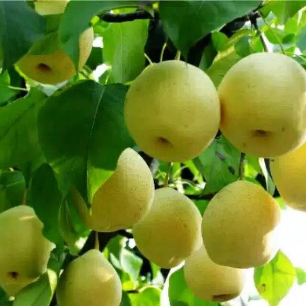 Bibit buah pear pir nashi Bengkulu