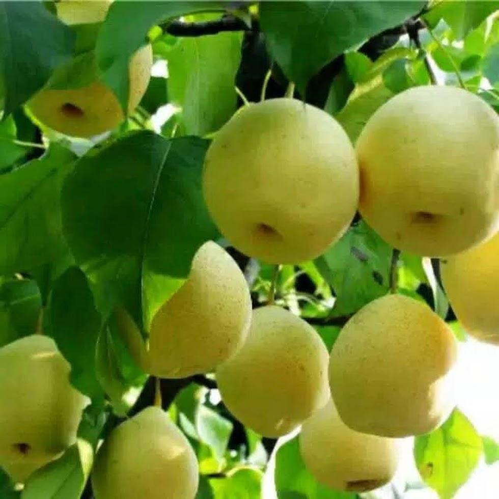 Bibit buah pear pir nashi Sumatra Barat