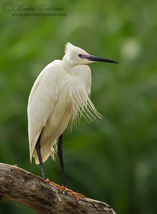 PhotoShare: Little Egret in breeding plumage