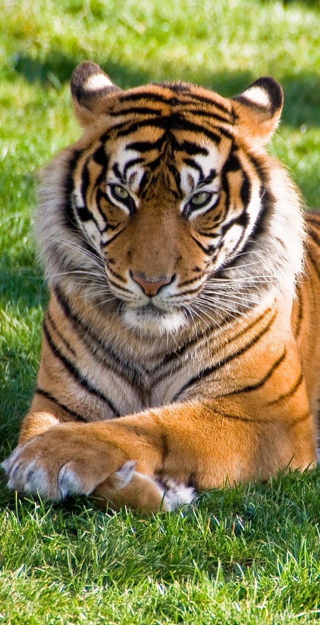 A tiger resting.