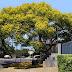 Selain Peneduh Pohon Angsana Juga Sangat Bermanfaat Bagi Lingkungan dan Kesehatan