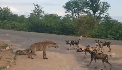 Hyena lawan anjing liar