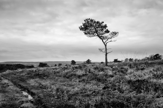 Monochrome image of a lone tree in the Studland Nature Reserve