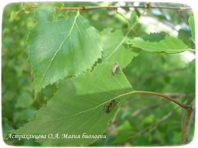 береза, магия биологии, муравей, долгоносик грушевый Phyllobius pyri