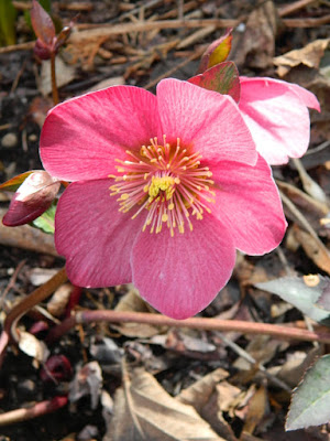 Helleborus x hybridus Anna's Red hellebore spring bloom by garden muses-not another Toronto gardening blog
