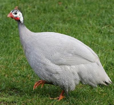 Ayam Mutiara Lavender (Lavender Guinea Fowl)