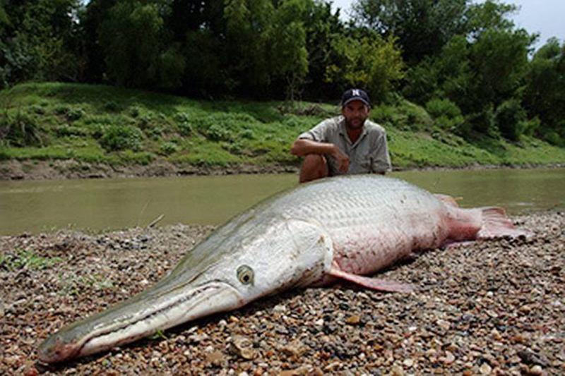 Animal prehist rico sobreviviente pez cocodrilo o for Alligator gar coloring page