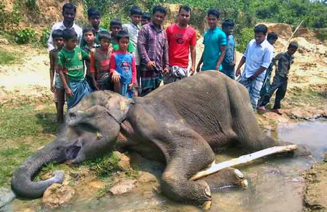 Wild elephant death in Banskhali