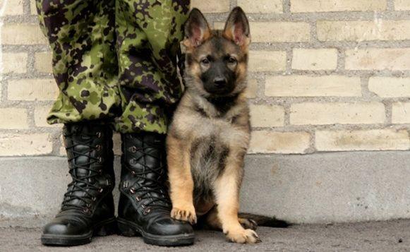 Дело было в 90-ых. Парню, по возвращении с армии, невеста подарила щенка немецкой овчарки.