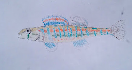Pencil crayon drawing of long, thin fish with bright red and blue markings