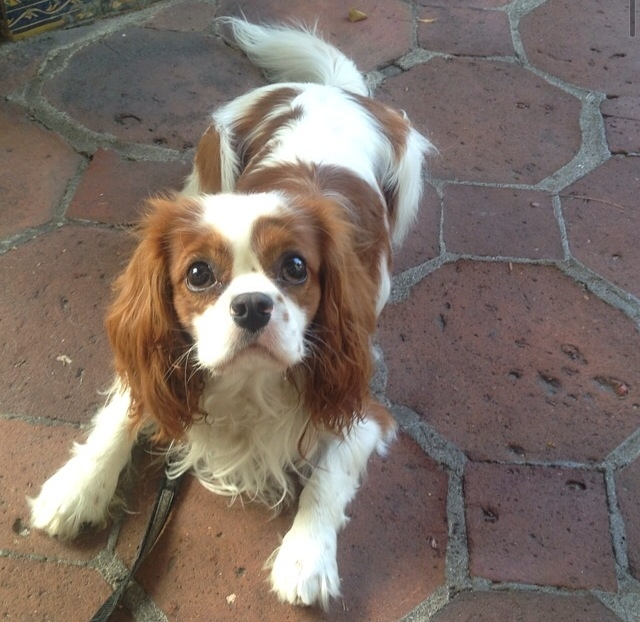 Baxter the blenheim Cavalier King Charles Spaniel