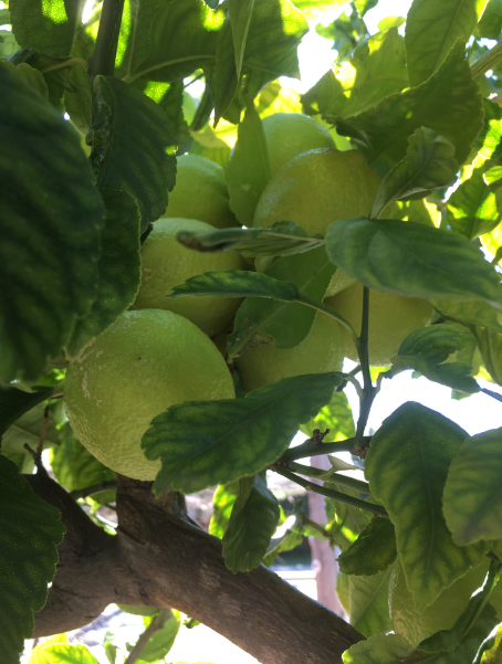 A bunch of eureka lemons on a tree