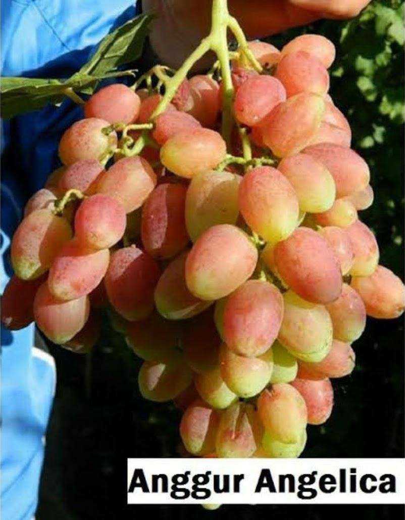 Bibit Anggur Import Angelica Garansi Valid 100 Subulussalam
