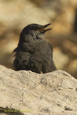 Hembra de roquero solitario (Monticola solitarius)