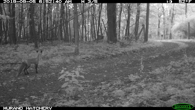Trail cam picture of fox behind the chicken coop