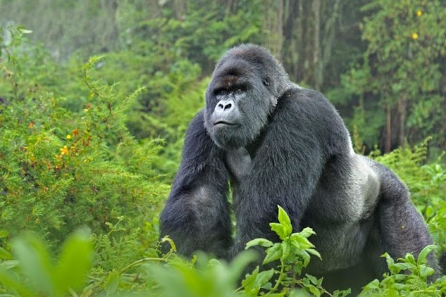 Wonderful! Gorilla allegedly swallows N7m in Kano zoo