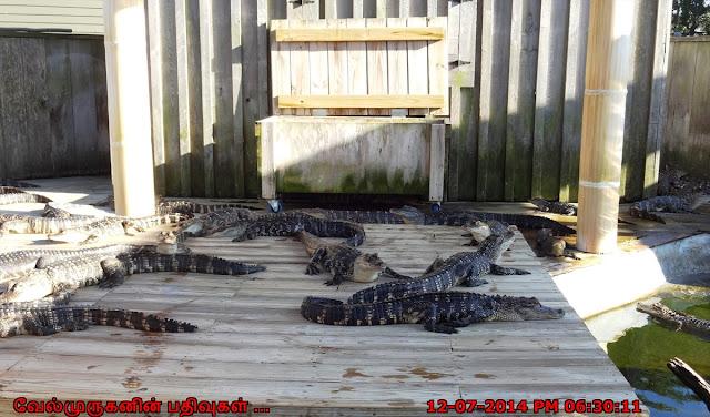 Alligator Adventure Barefoot Landing