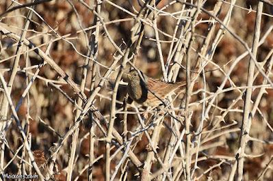 Pardal de bardissa (Prunella modularis)
