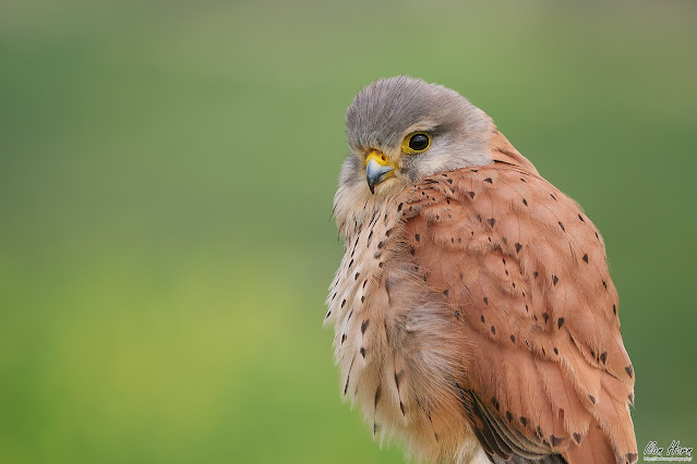 Male Common Kestrel Portrait