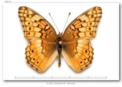Mariposa Claudia Euptoieta claudia